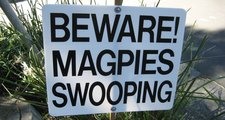 ESI magpie swooping sign