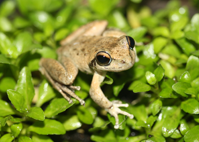 Conservation Biology Frog